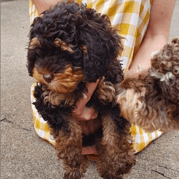 woman holding a Phantom Poodle Puppies