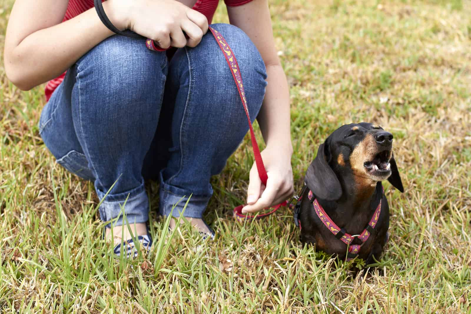 Barking Dachshund dog sitting beside owner