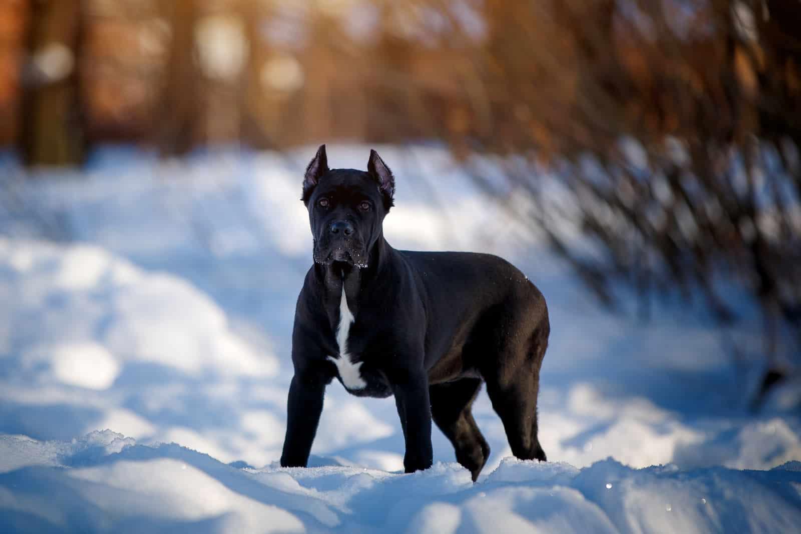 Beautiful black Cane Corso dog in winter nature