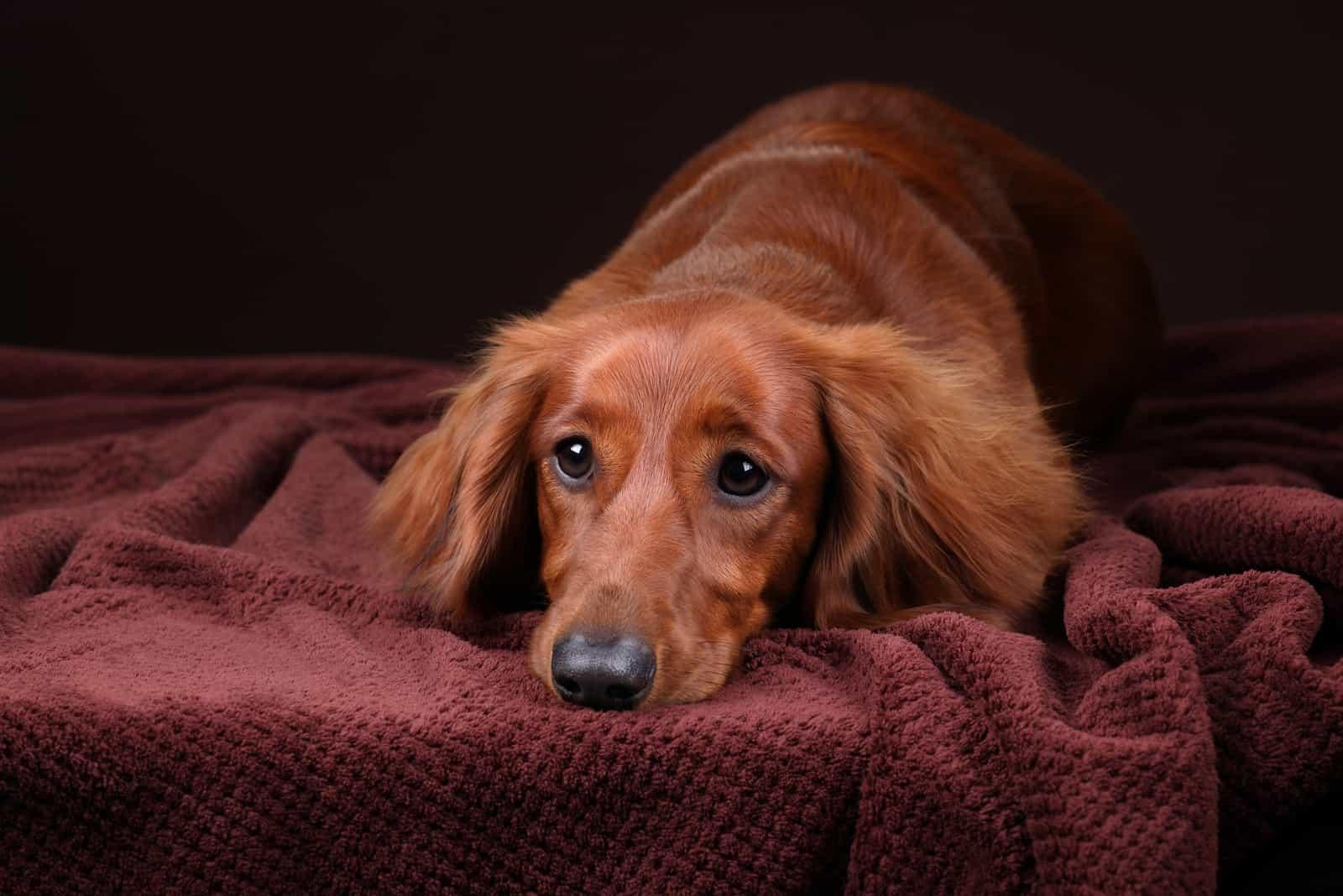 Beautiful and sad dachshund dog