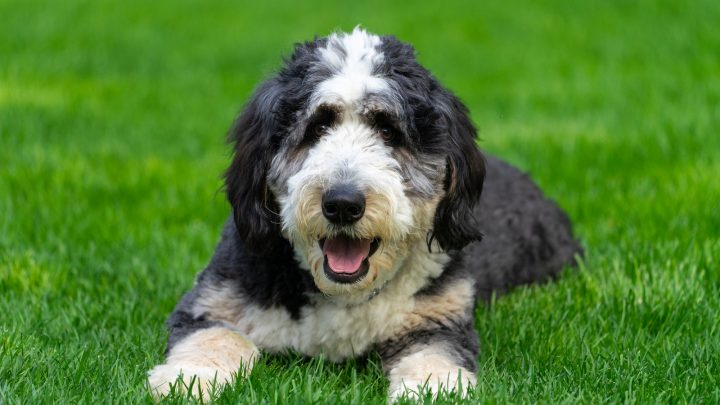 Bernedoodle Colors: Most Common, Most Expensive, And The Rarest