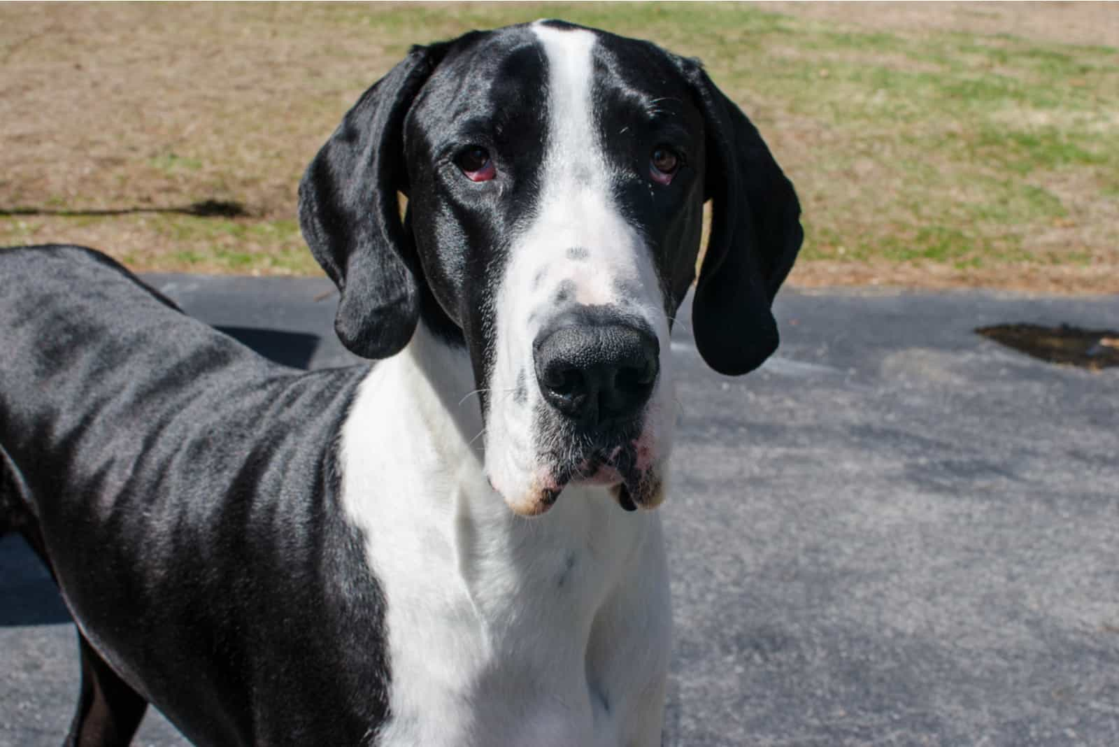 Black and white great dane standing
