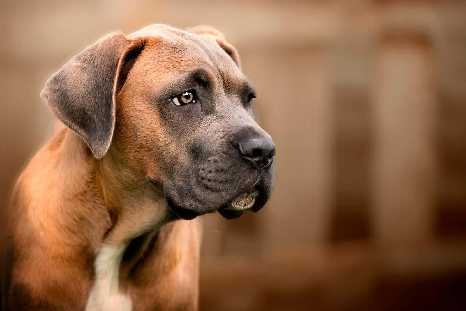 Cane Corso puppy - Young Formentino Male