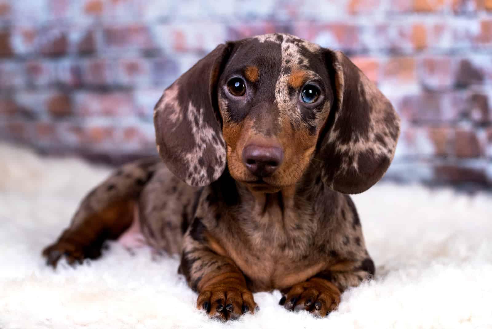 adorable Dachshund dog lying