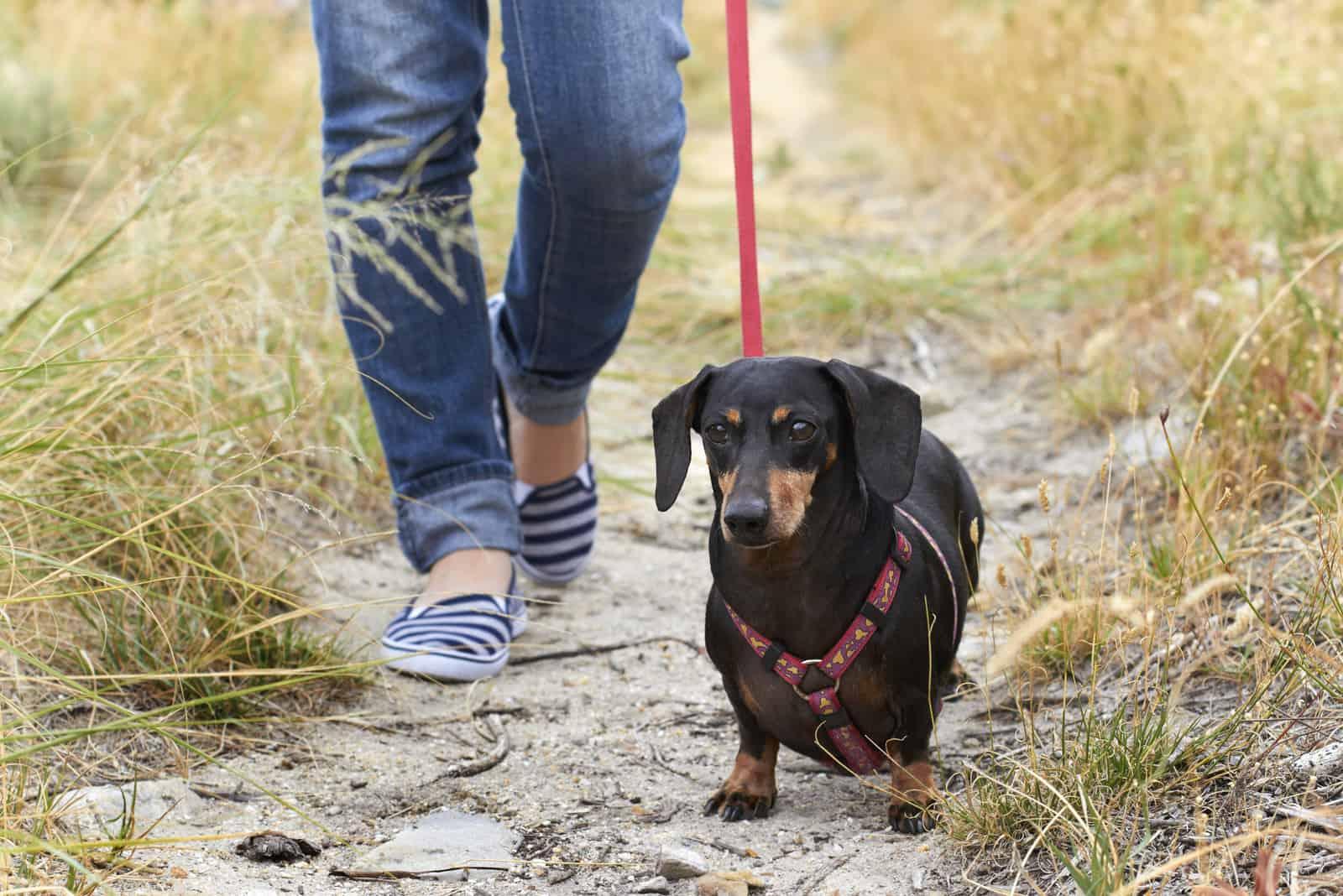 Dachshund dog walking with owner