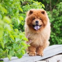 chow chow dog on the bench