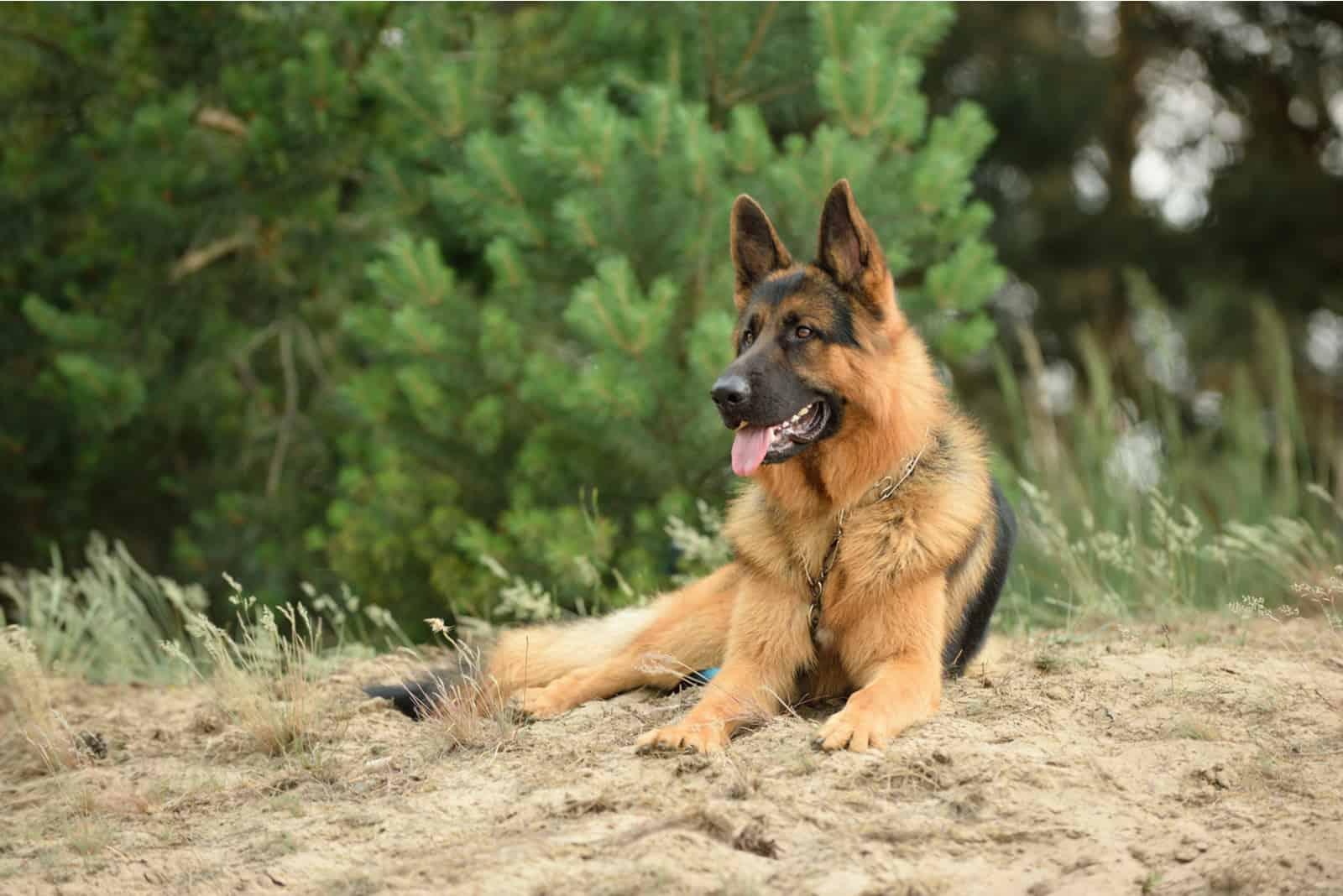German Shepherd Dog lying outdoors