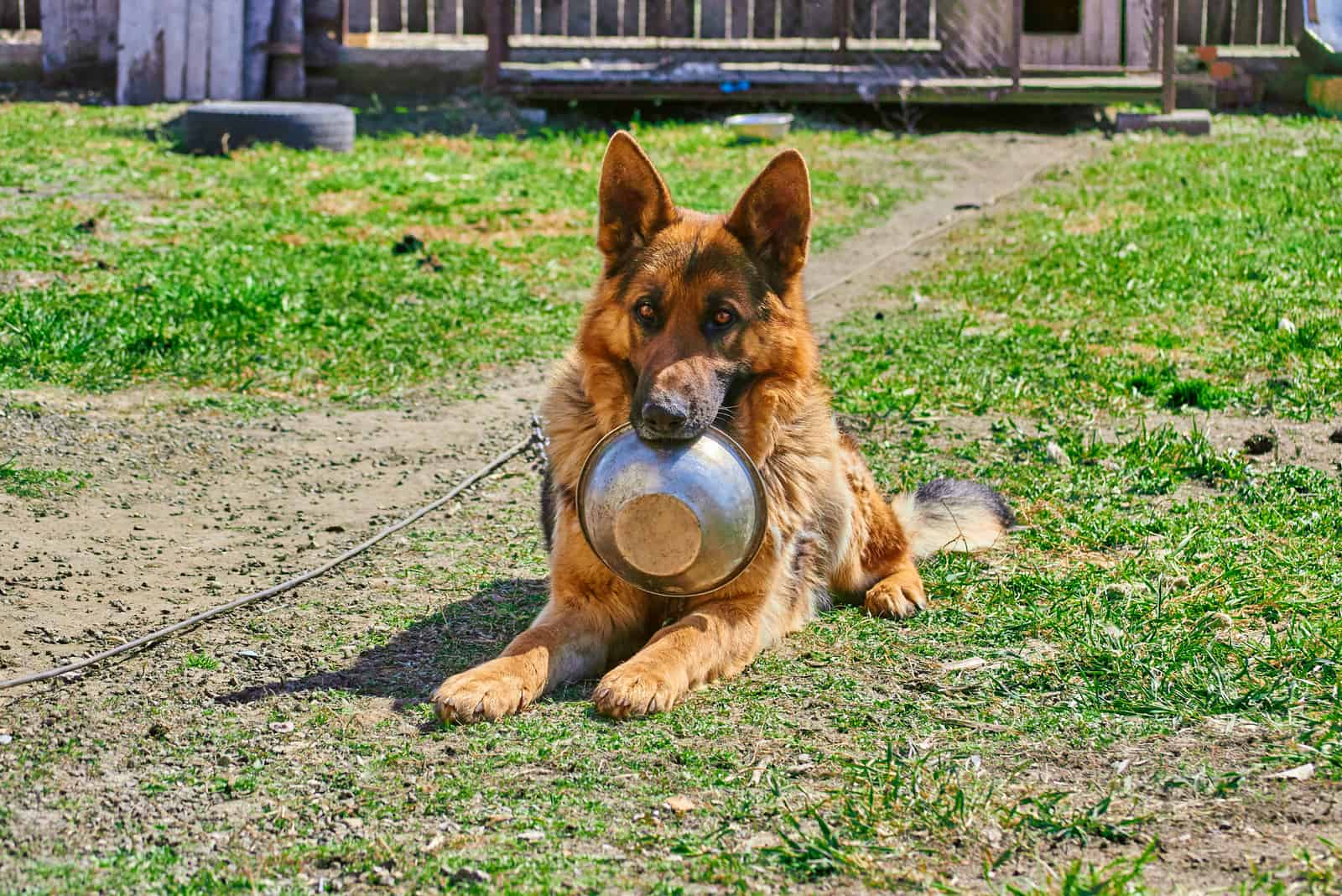 German Shepherd dog holding in teeth a bowl to have meal