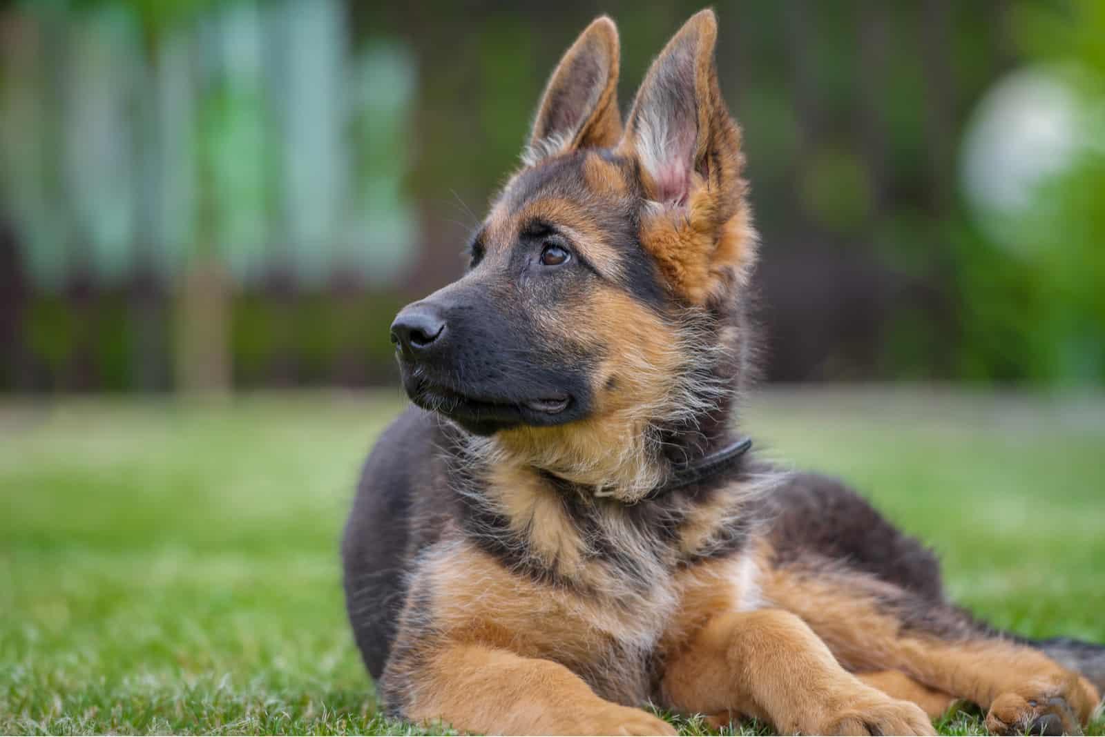 German Shepherd looks attentively