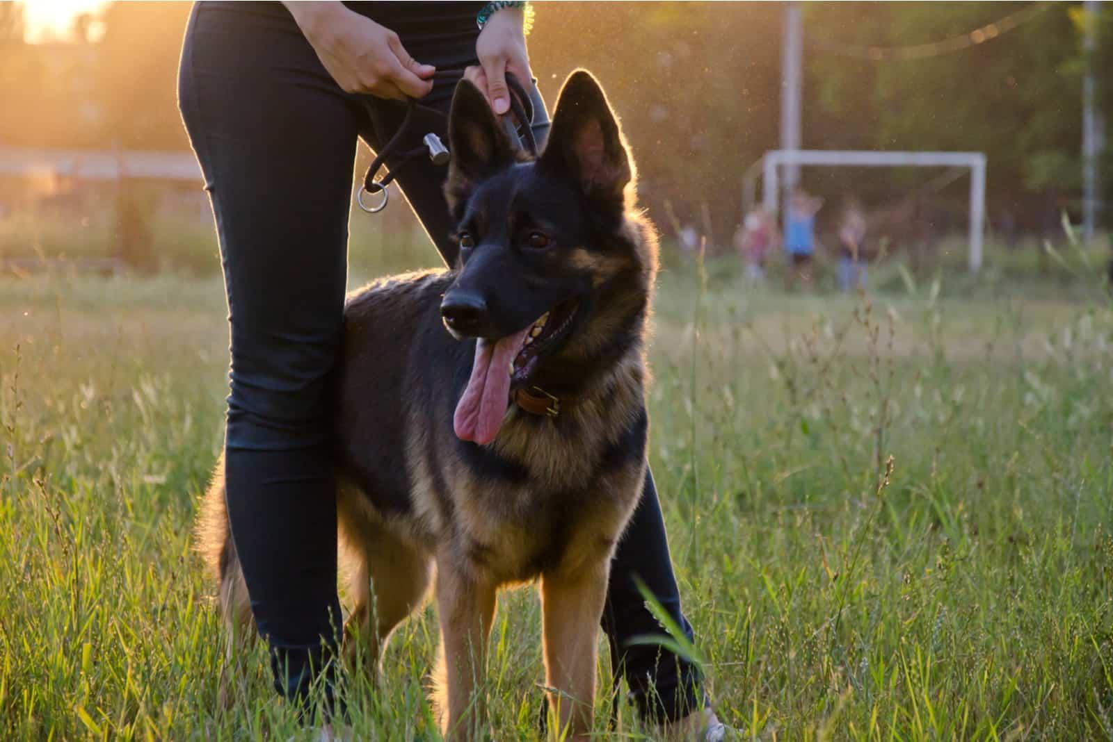 German Shepherd walking with owner