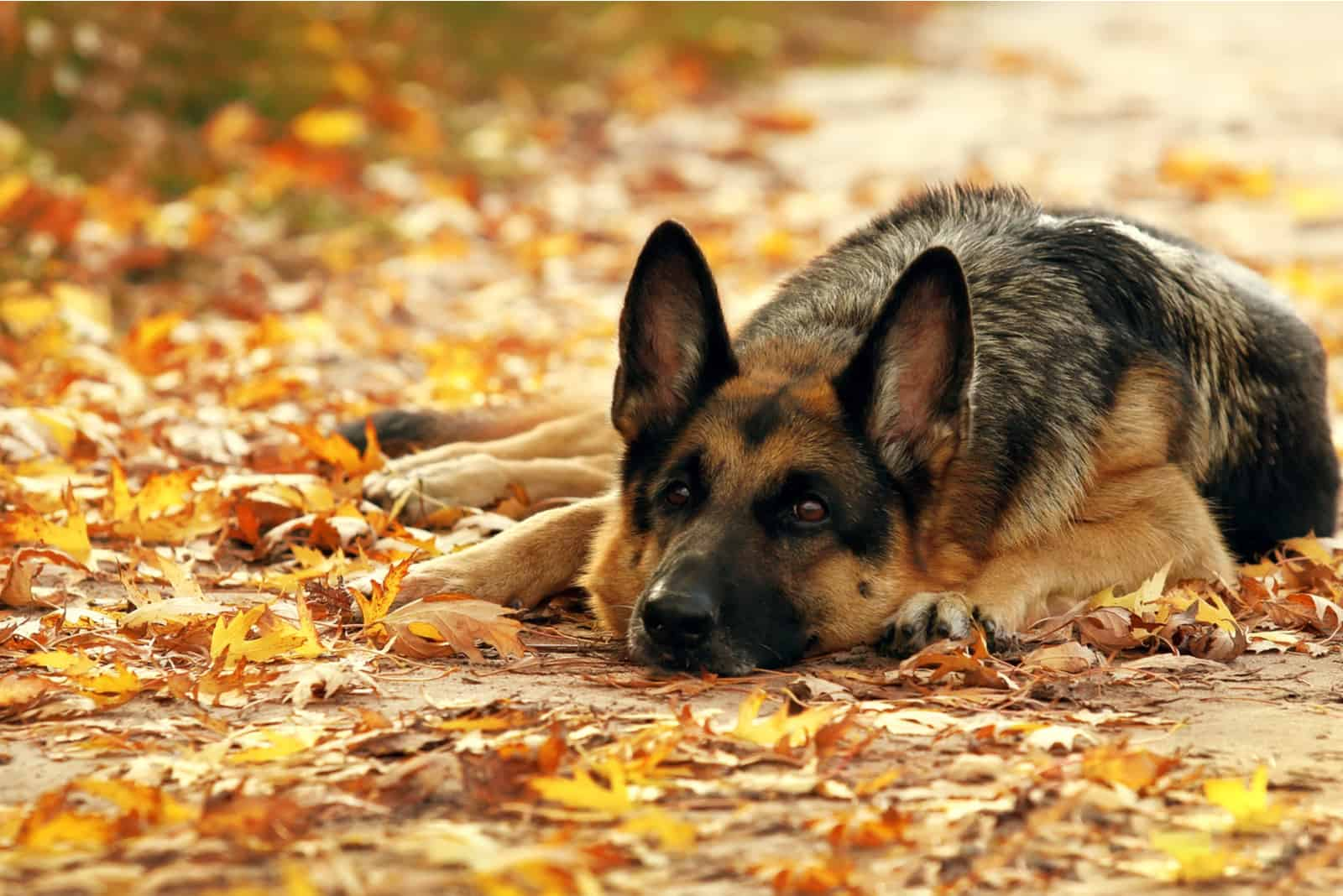 German shepherd lies in the autumn wood