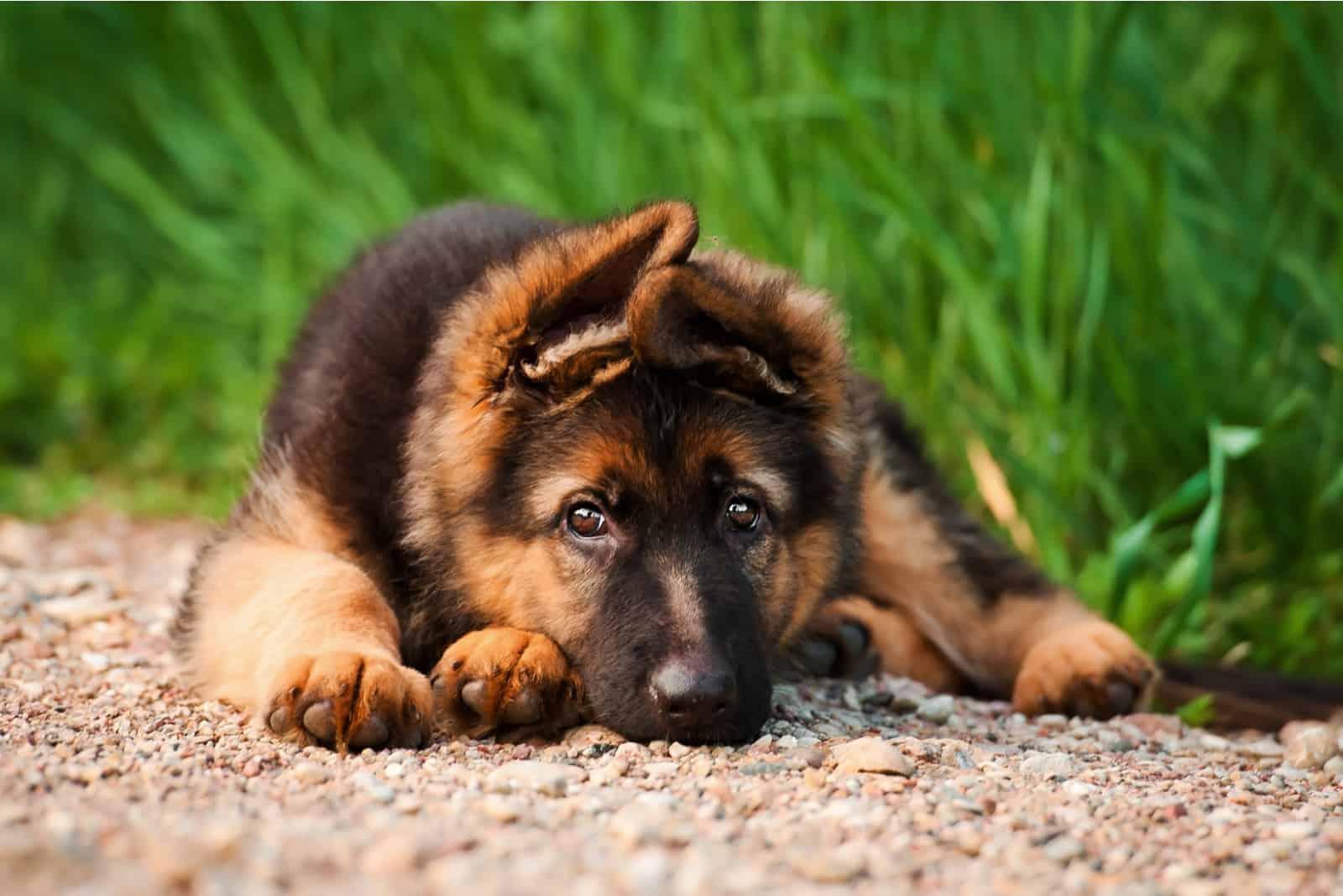 German shepherd puppy lying on the ground