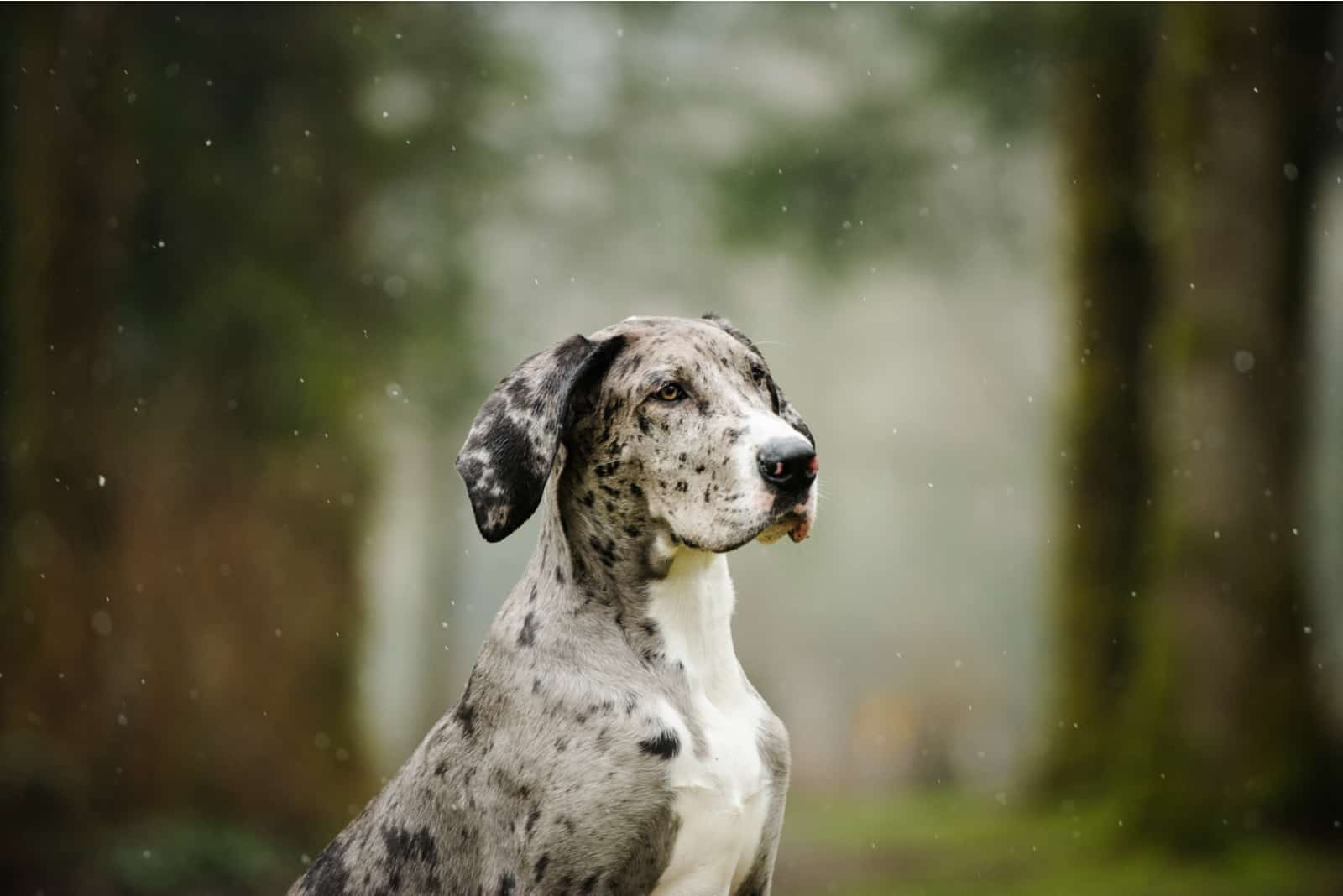 Great Dane puppy in a snowy forest
