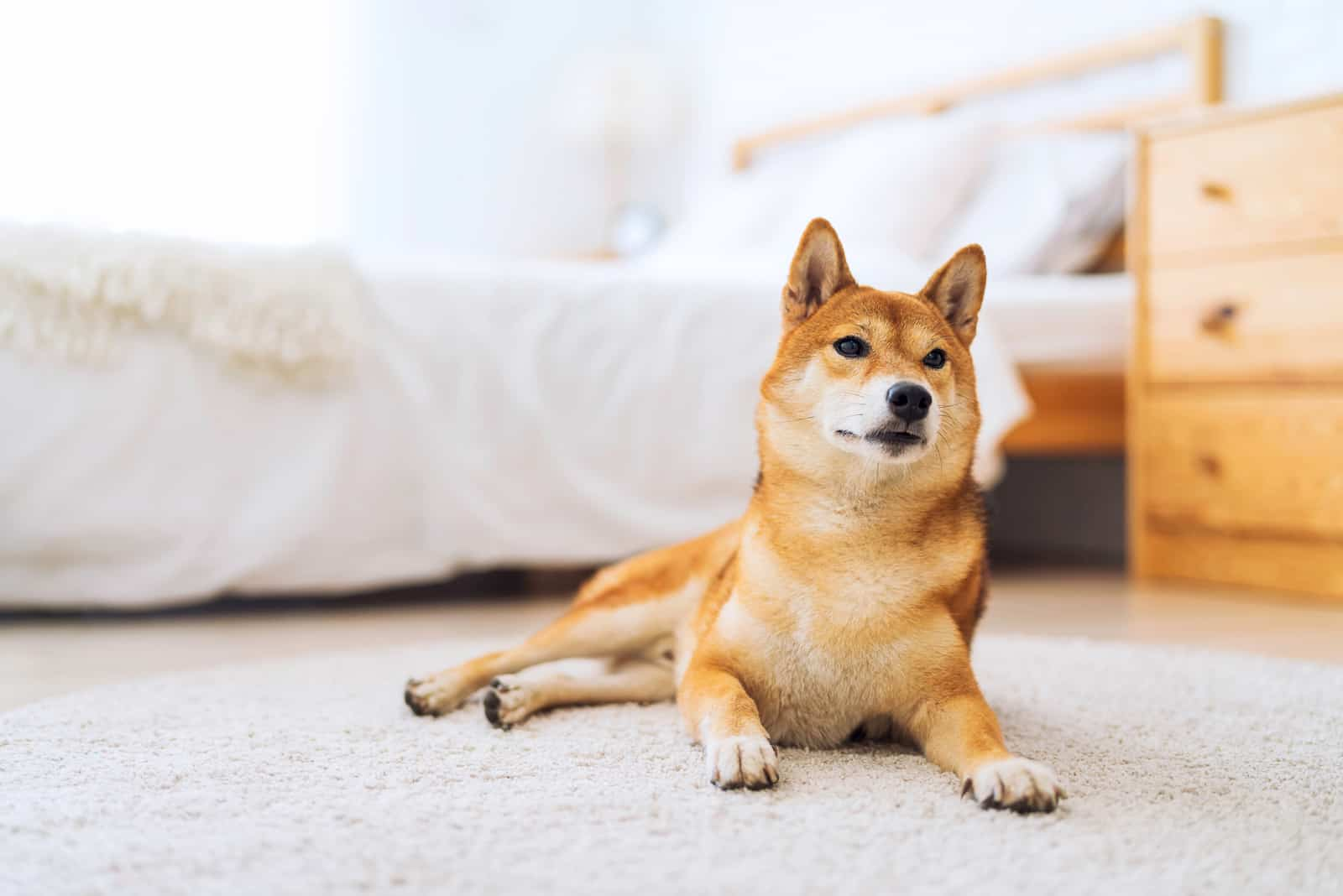 Japanese Shiba Inu dog in bedroom