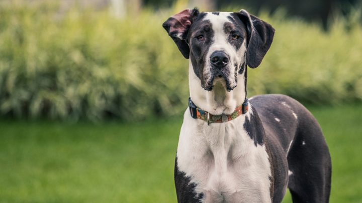 Mantle Great Danes: All The Great Dane Colors Explained