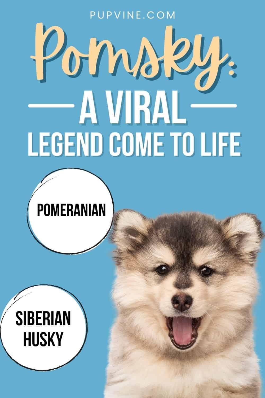 Pomsky: A Viral Legend Come To Life