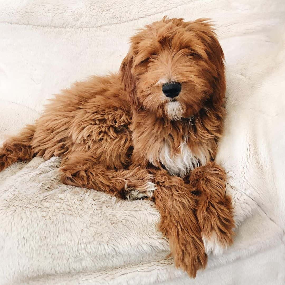 Red goldendoodle lying at home