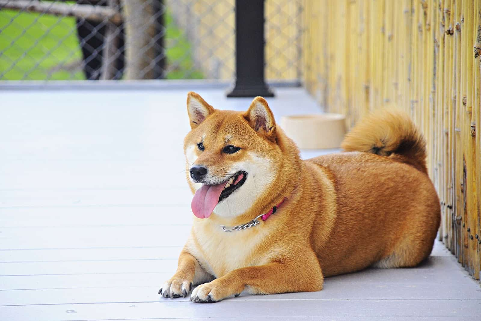 Shiba Inu fat dog lying in front of house