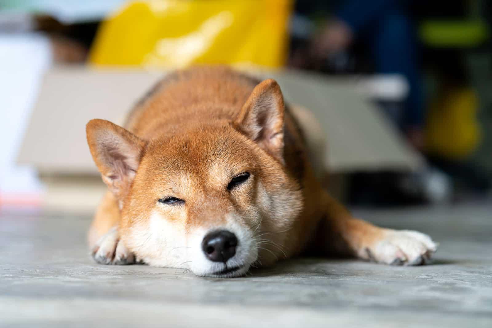 Shiba Inu dog sleeping in room
