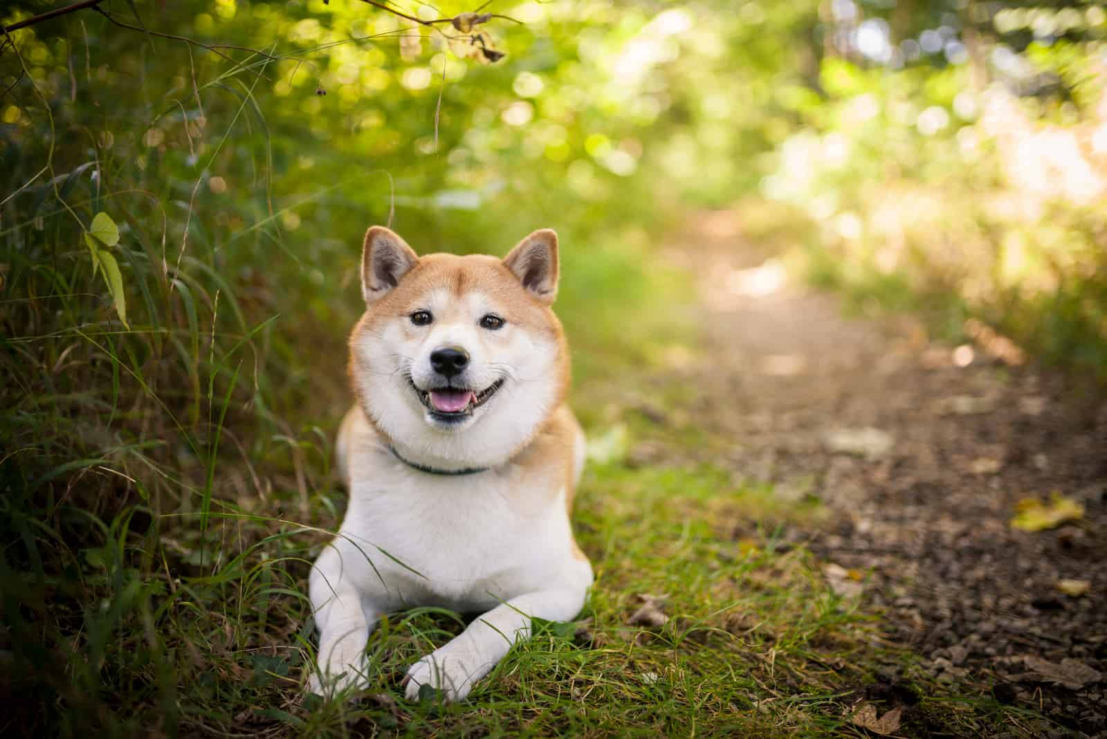 Shiba inu dog lying in the nature
