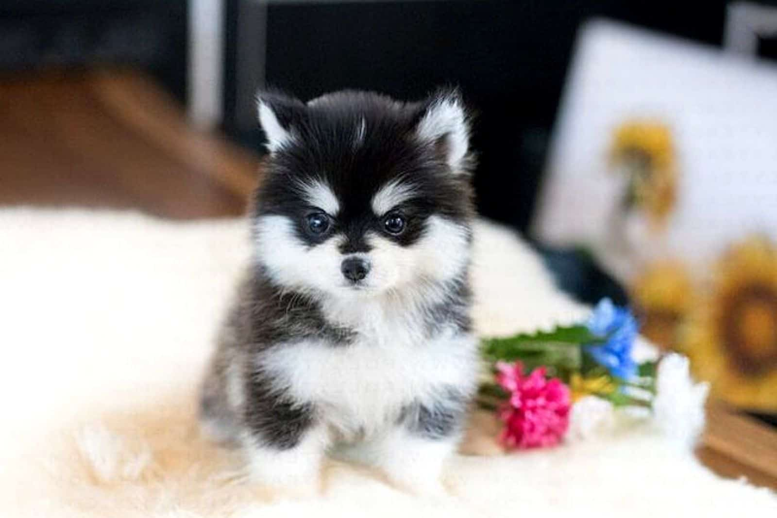 Teacup Pomsky puppy sitting at home on the table