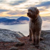 Goldendoodle dog stands on top of the mountain
