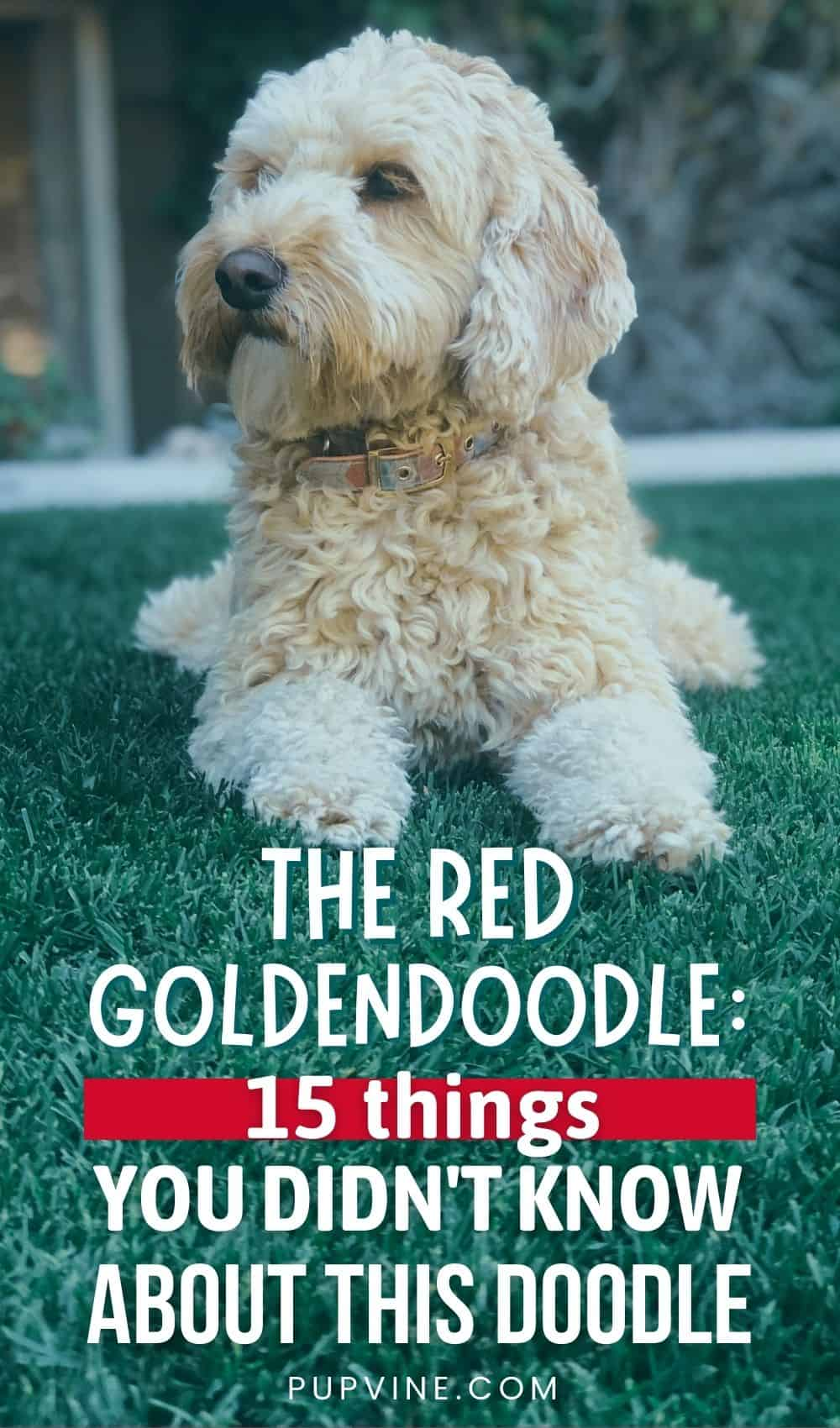 The Red Goldendoodle 15 Things You Didn't Know About This Doodle
