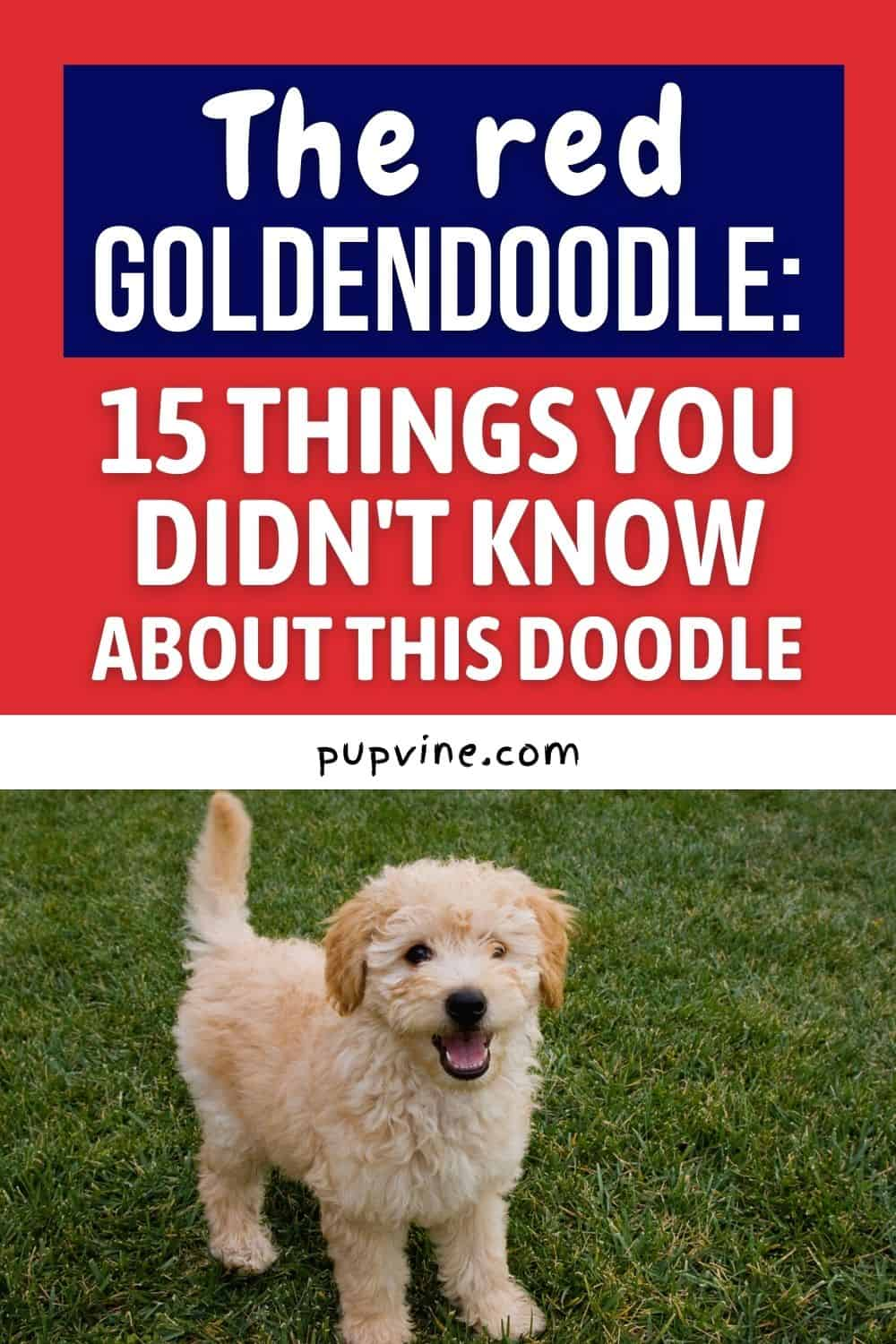 The Red Goldendoodle: 15 Things You Didn't Know About This Doodle