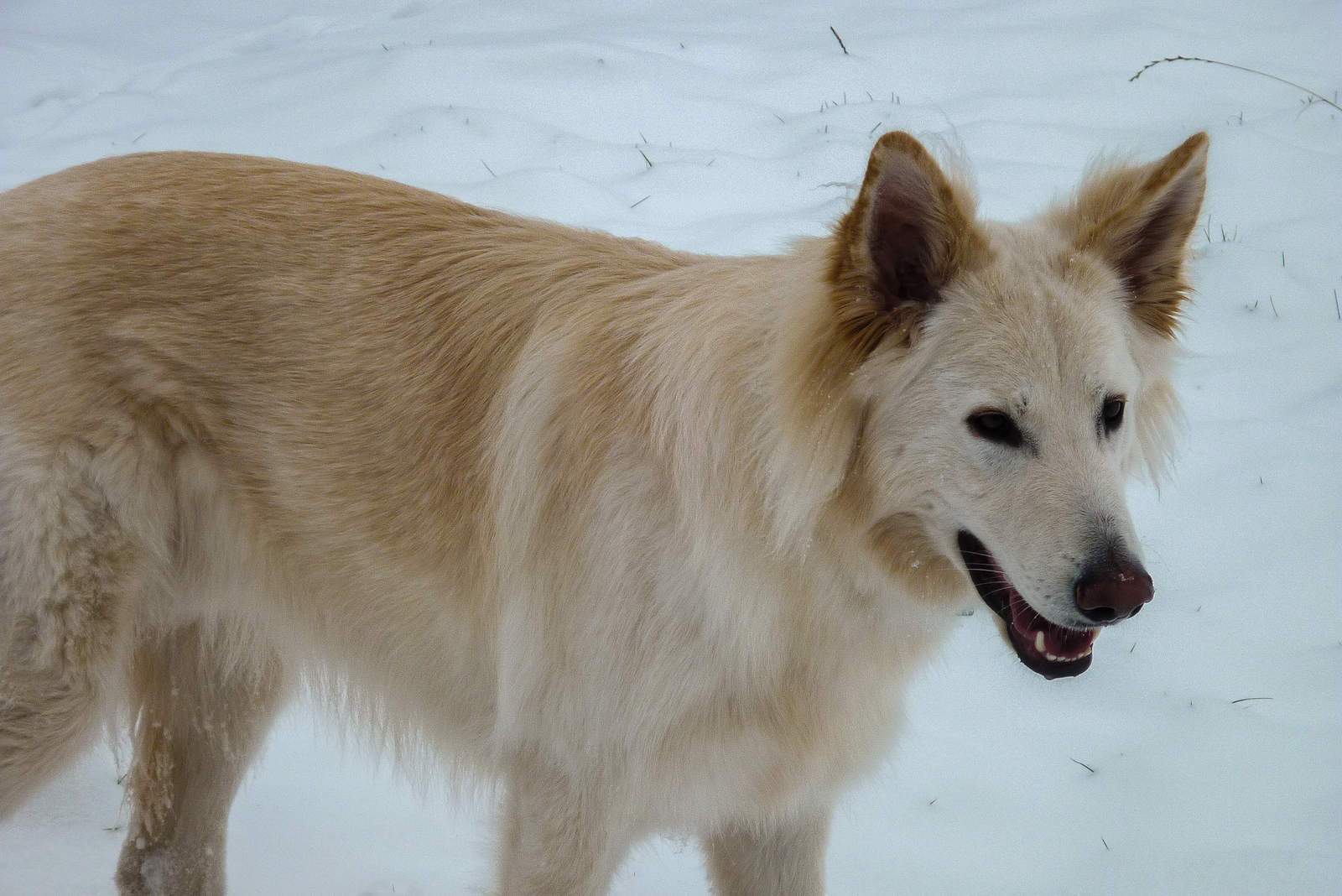 White german sheperd dog in the snow