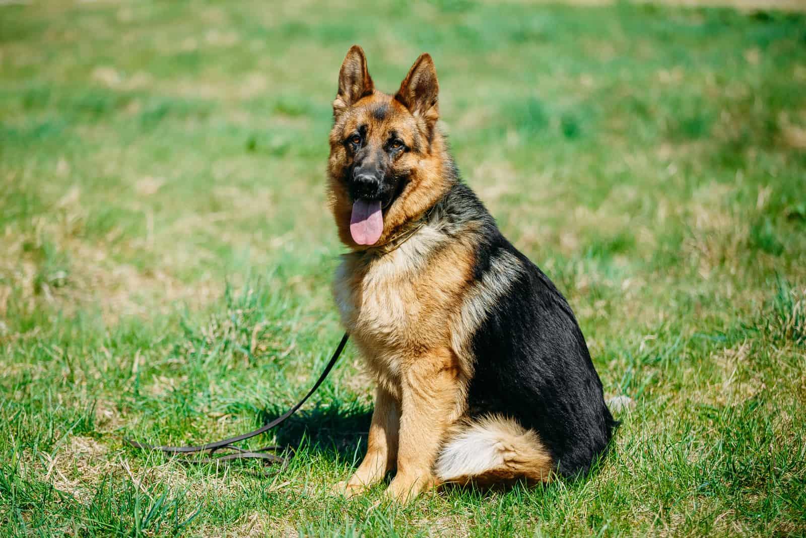 Young Brown German Shepherd Dog