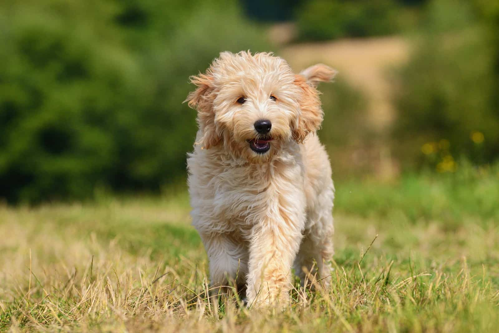 a beautiful goldendoodle dog walks on the grass