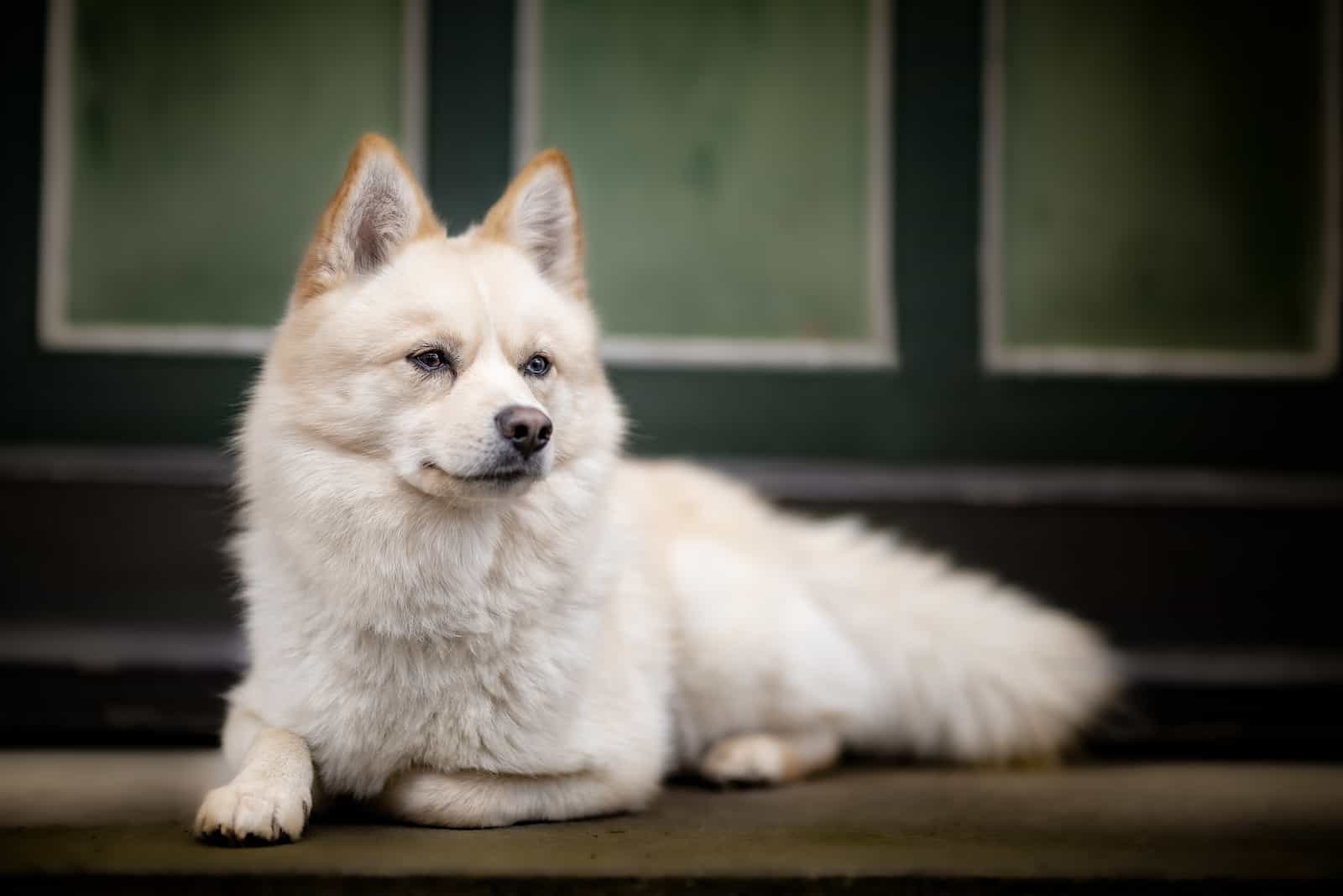 a beautiful pomsky dog is lying outside and watching something