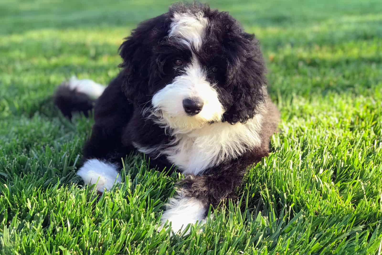 a black and white bernedoodle dog lies in the yard