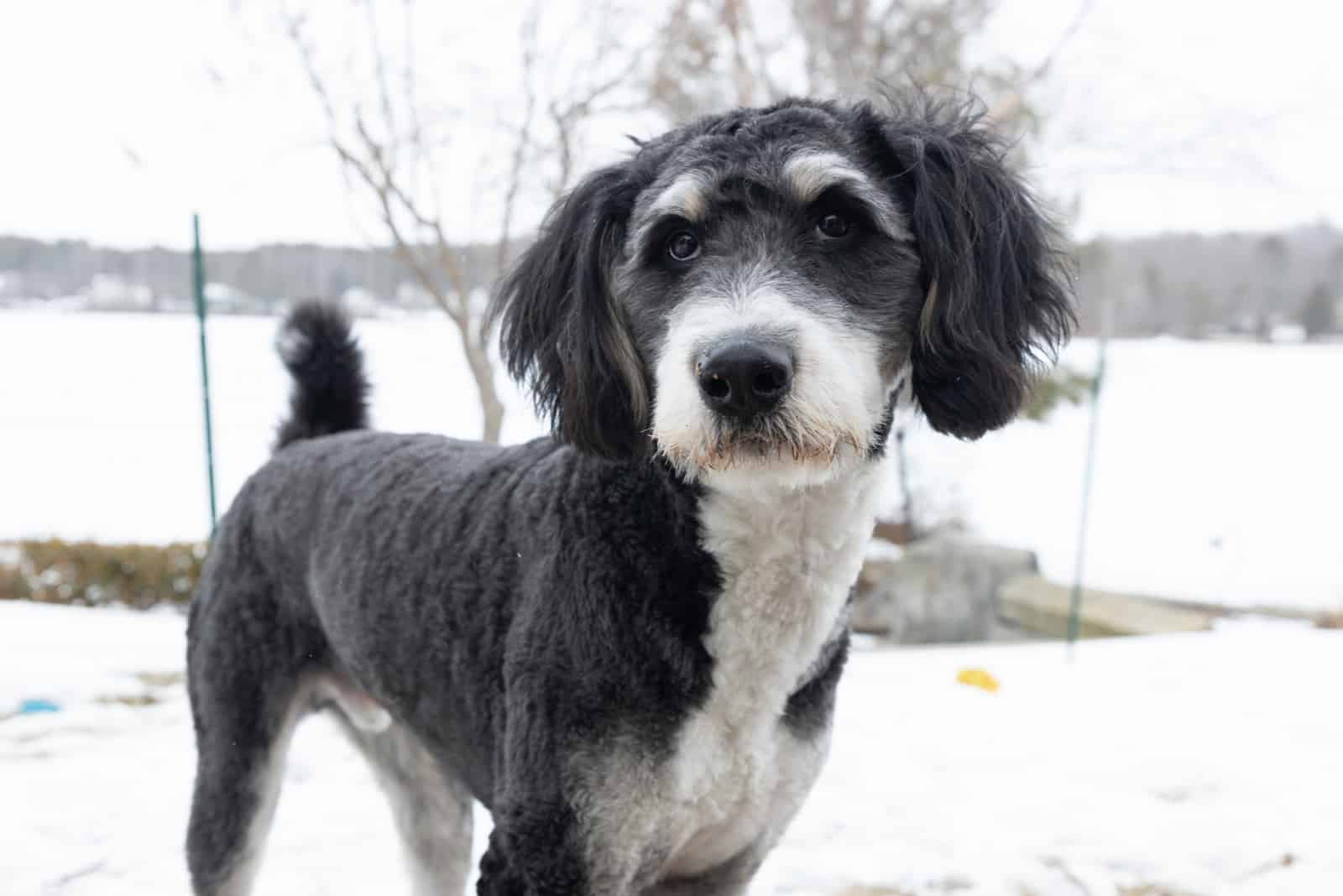 a gray bernedoodle stands outside in the snow