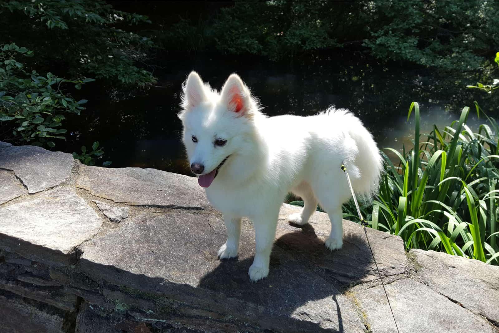 a pomsky dog stands on a stone wall