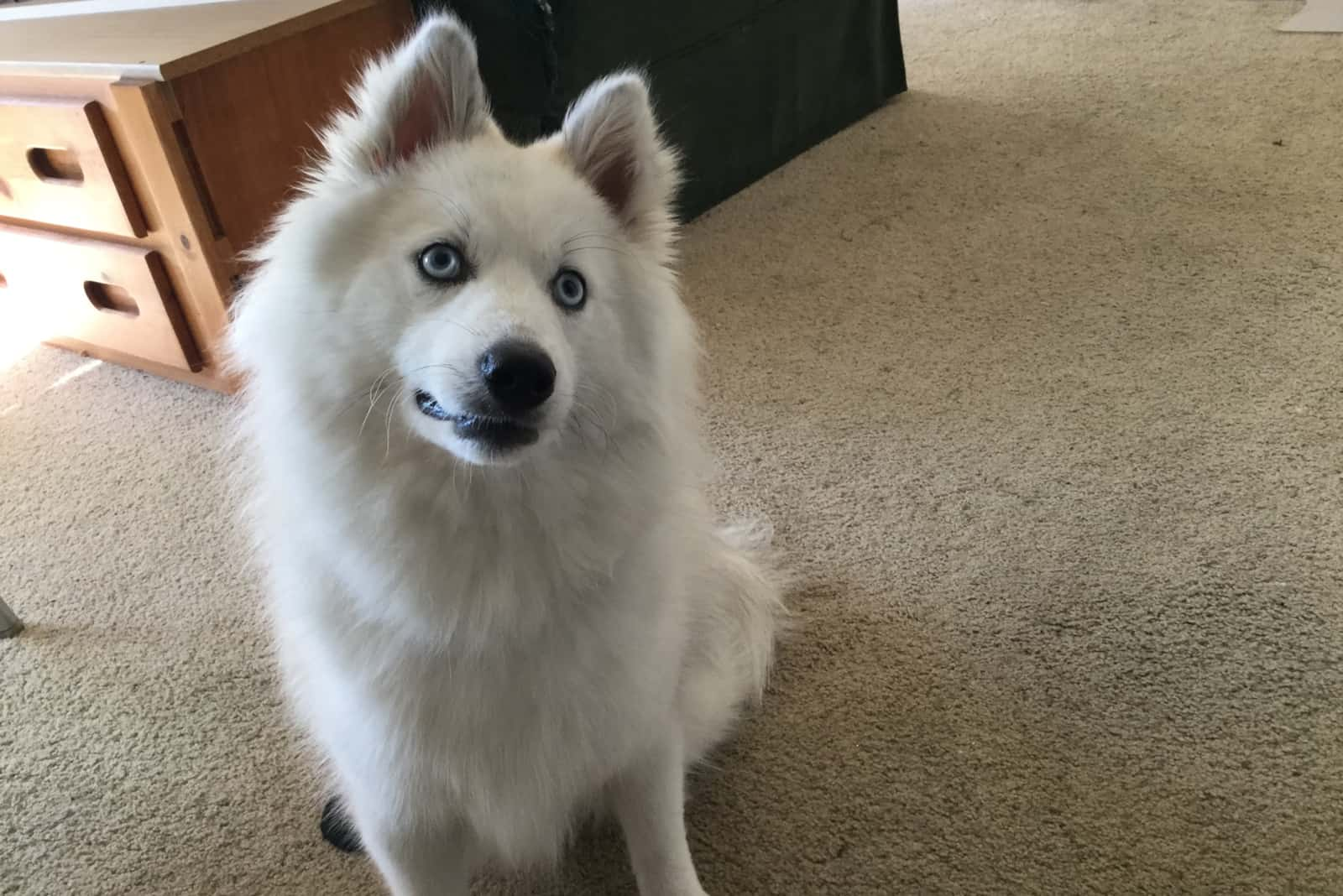 a white pomsky dog sits on the floor of the room and watches something