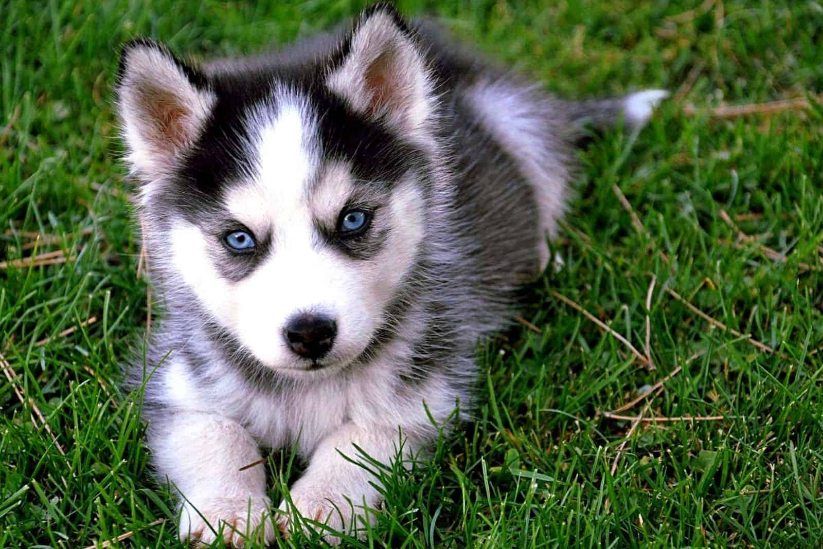 adorable pomsky puppy lying in the grass