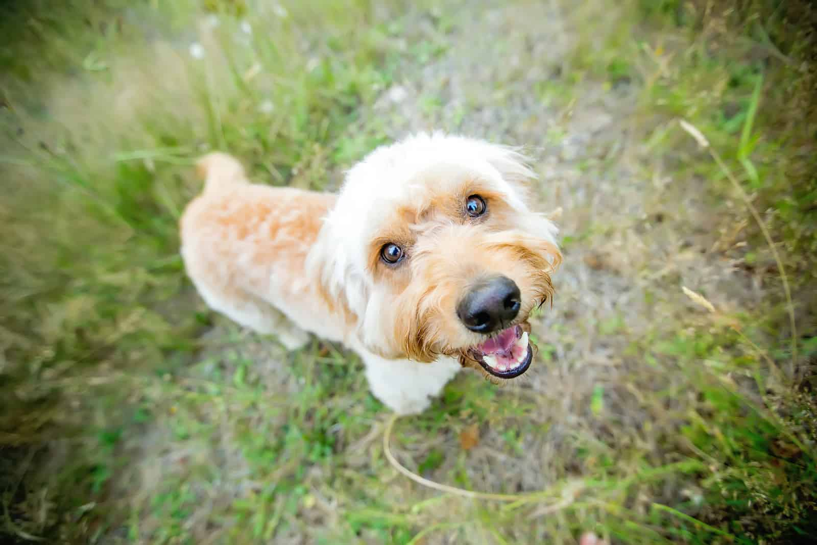 adorable red goldendoodle dog in nature