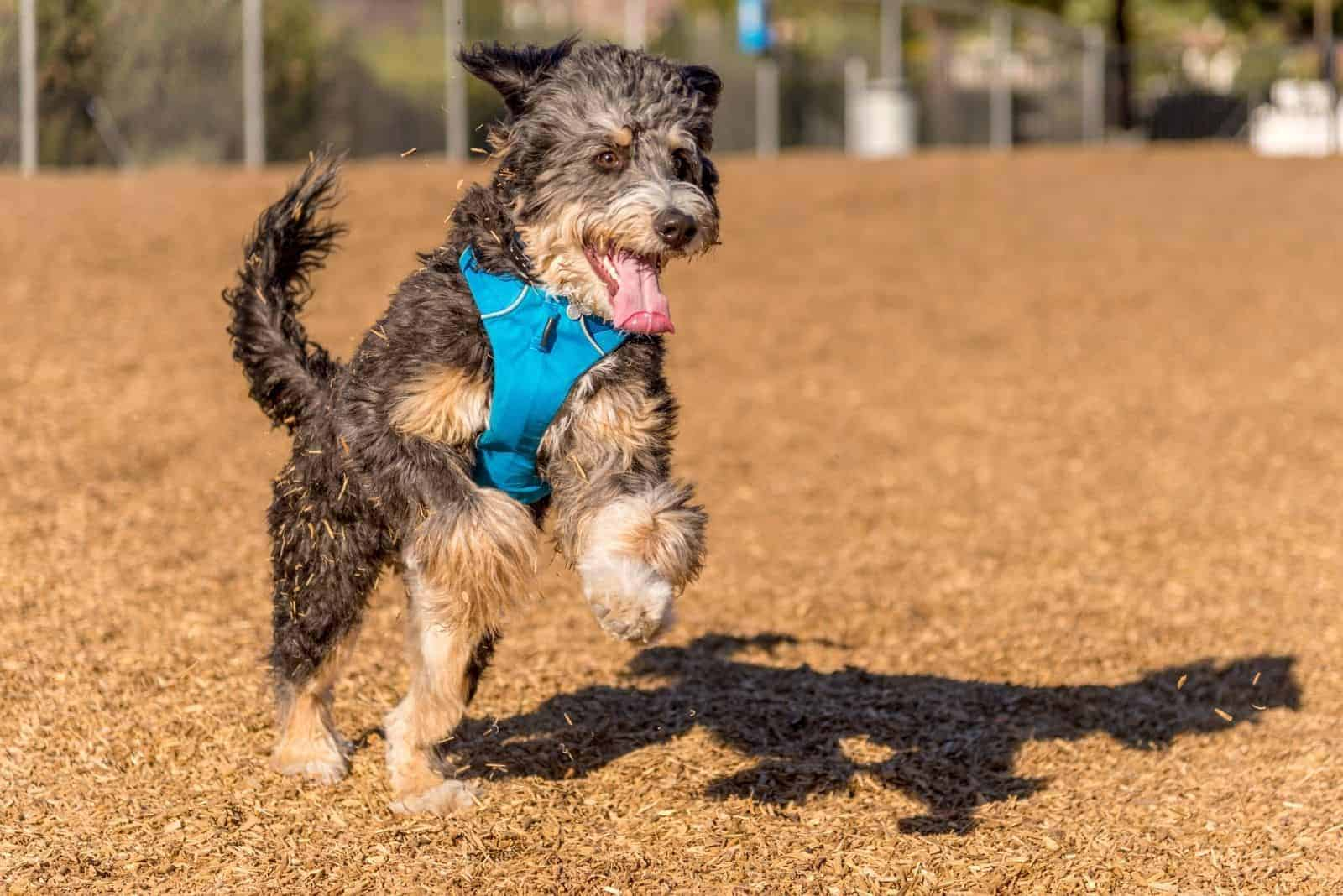 bernedoodle dog jumping across the field