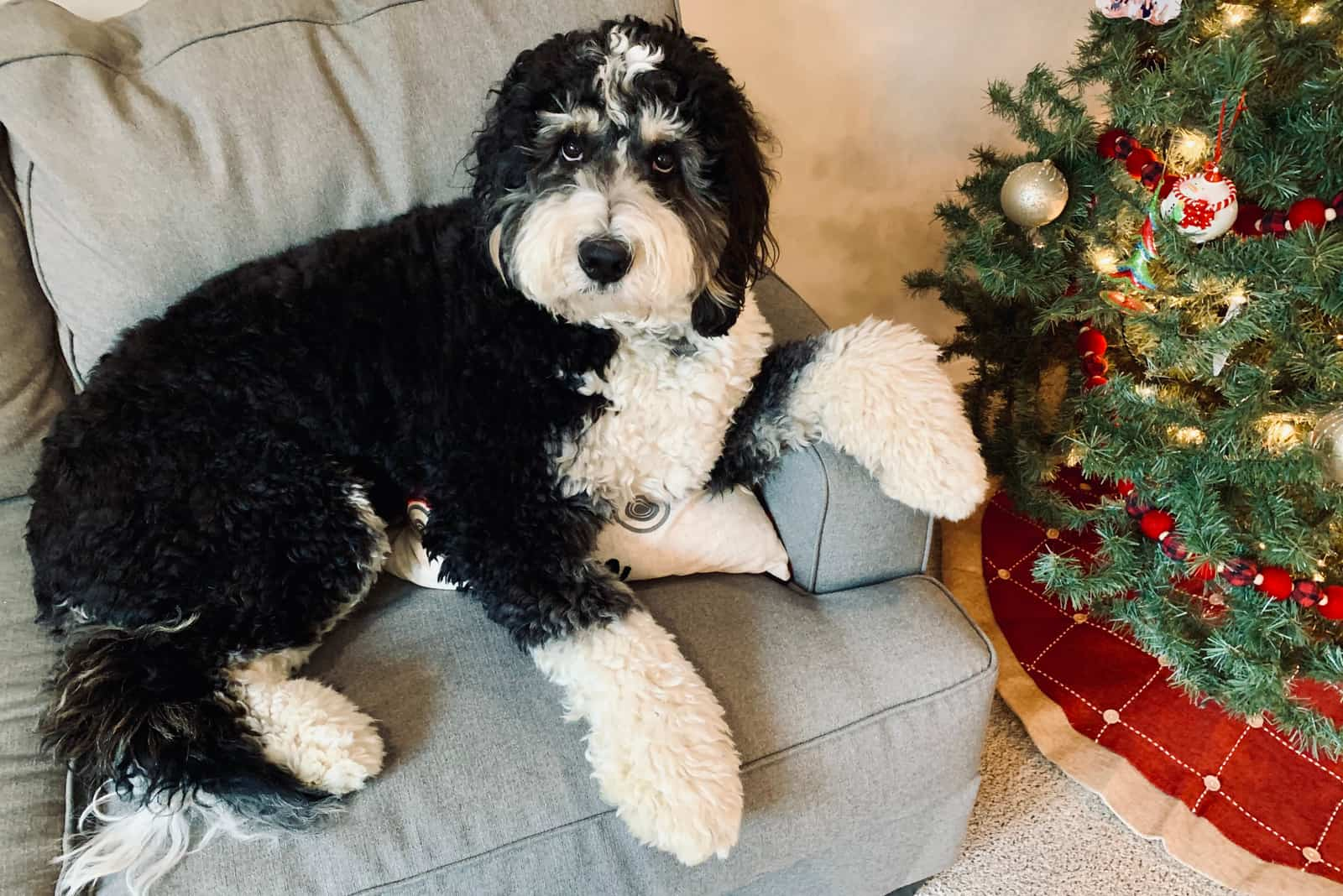 bernedoodle lies on an armchair next to the Christmas tree