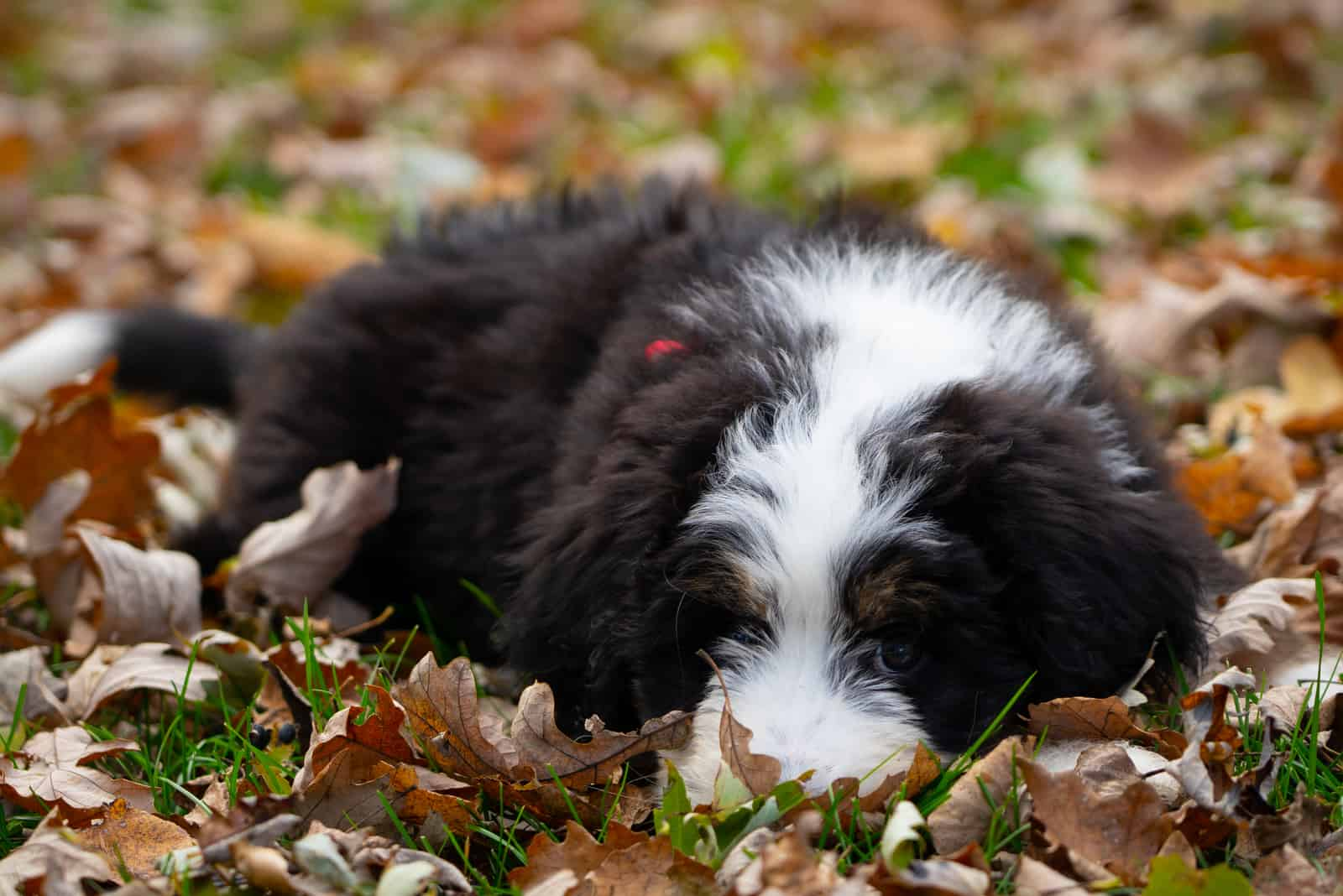 bernedoodle puppy lies in dry leaves