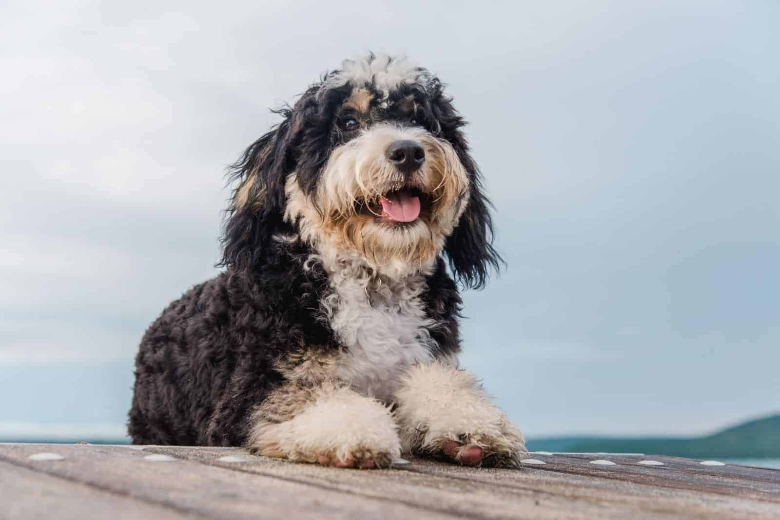 bernedoodle puppy lies on a wooden pier