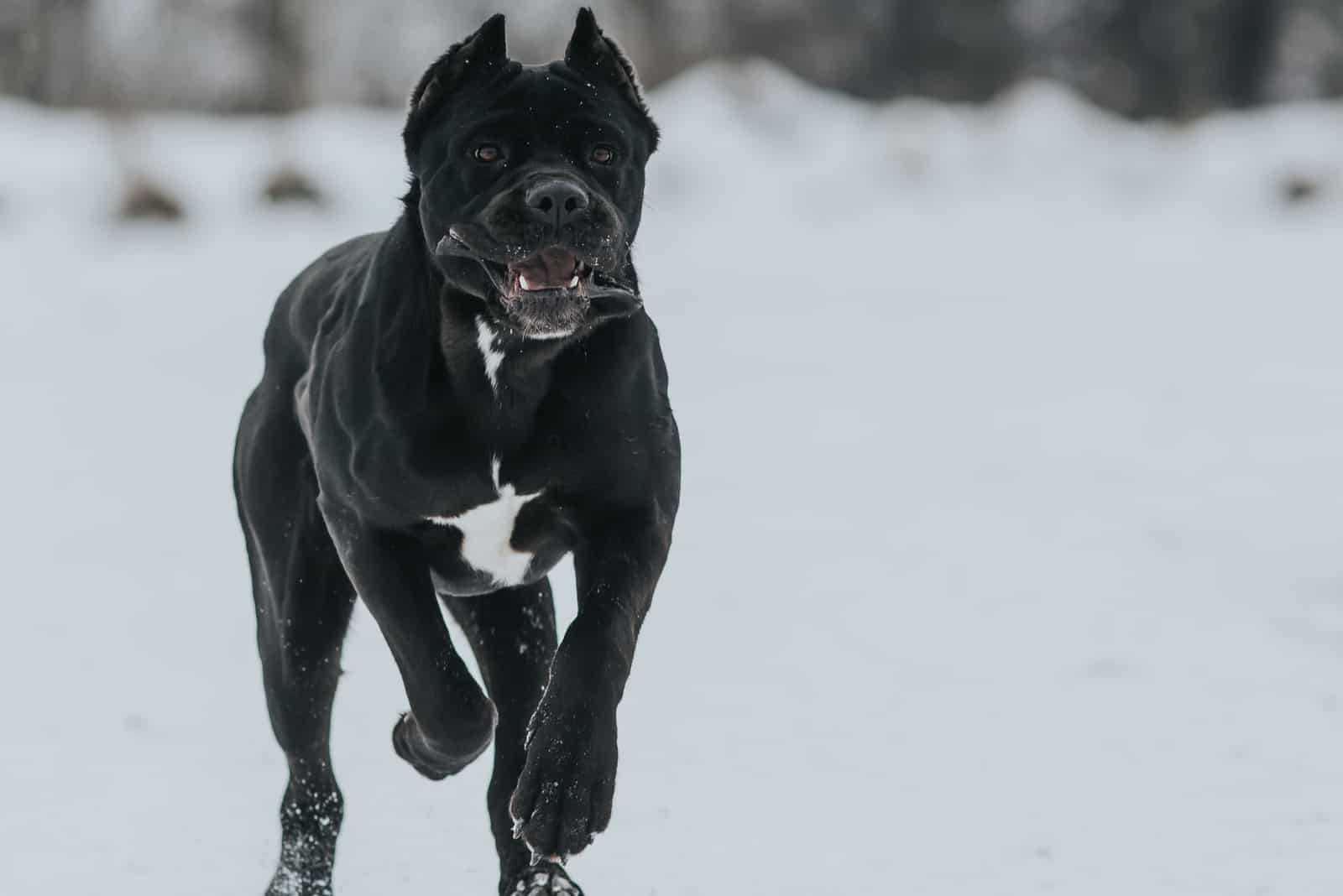 black cane corso running in winter nature