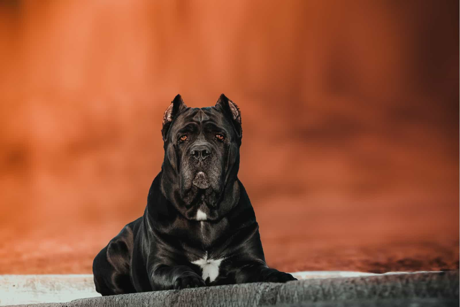 cane Corso is lying in autumn Park