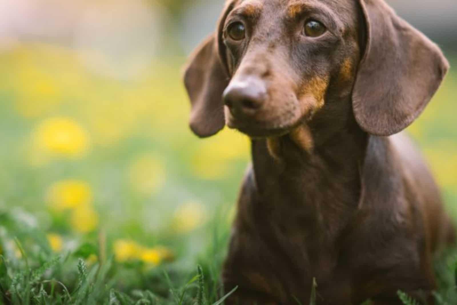 cute dachshund dog in nature