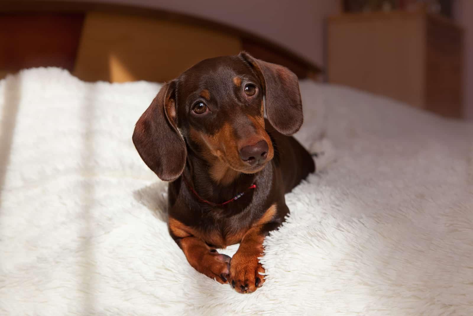 cute puppy of a chocolate dachshund lies on a light blanket