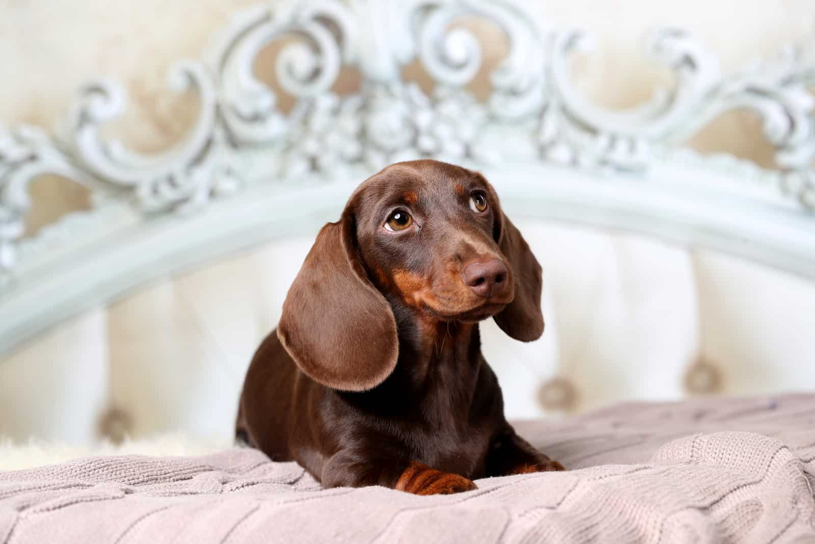 dachshund puppy lying in bed
