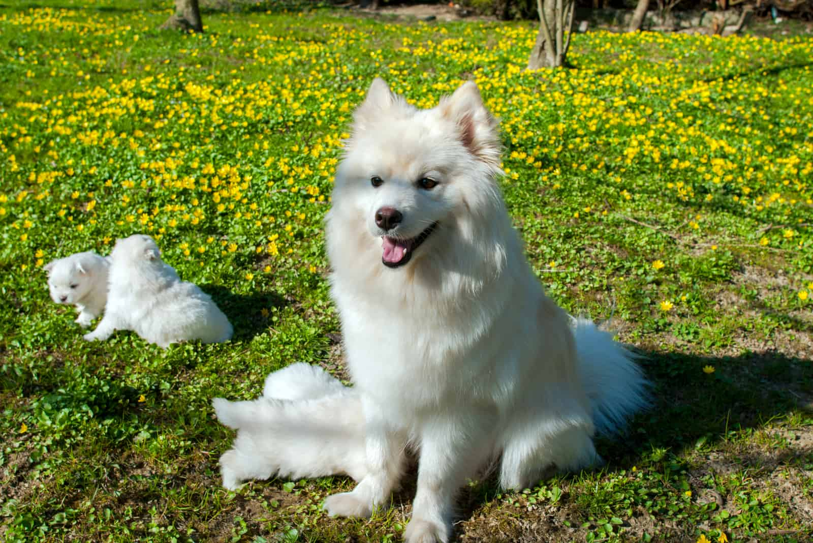 female pomsky with her puppies in the park