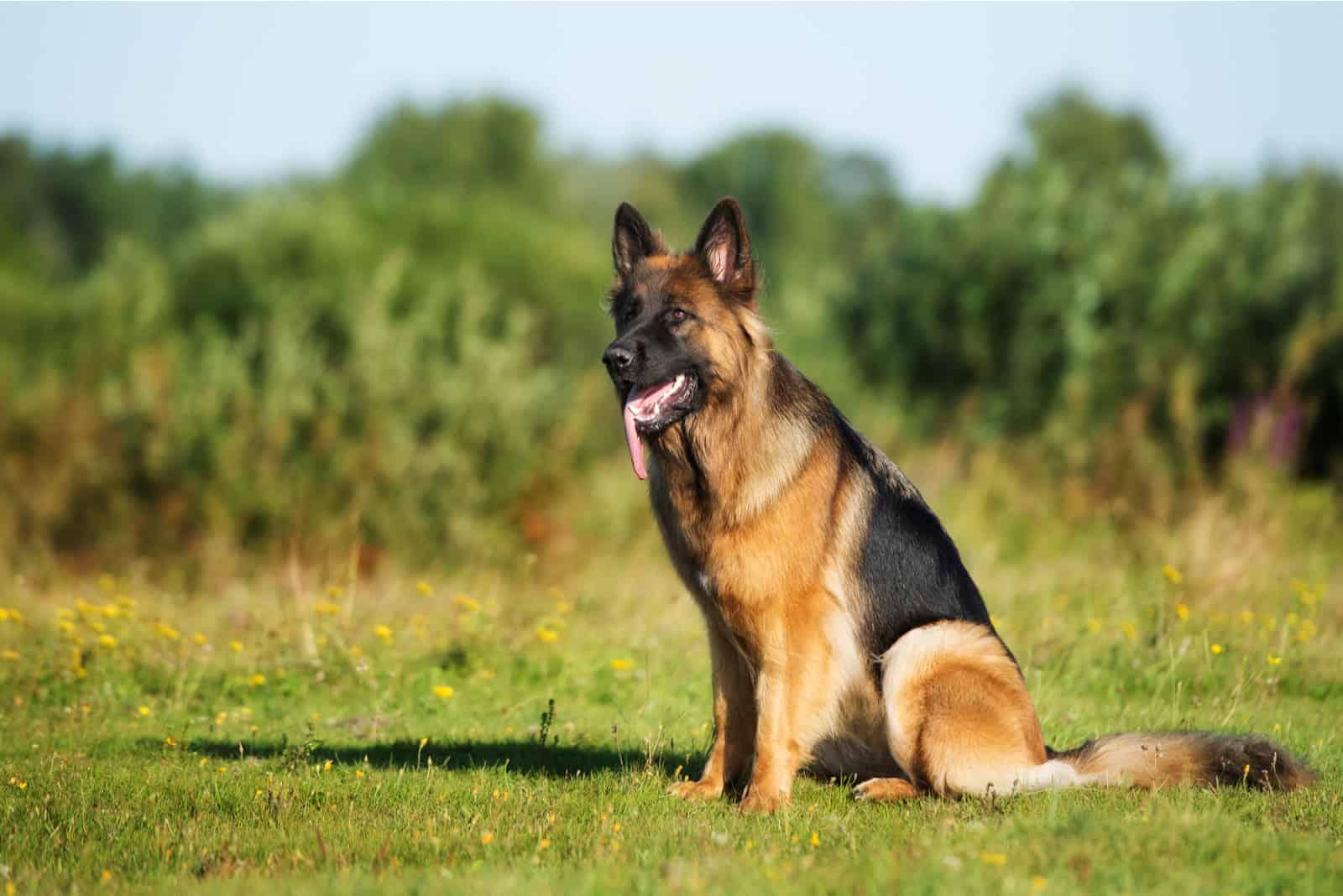 german shepherd dog sitting outdoors