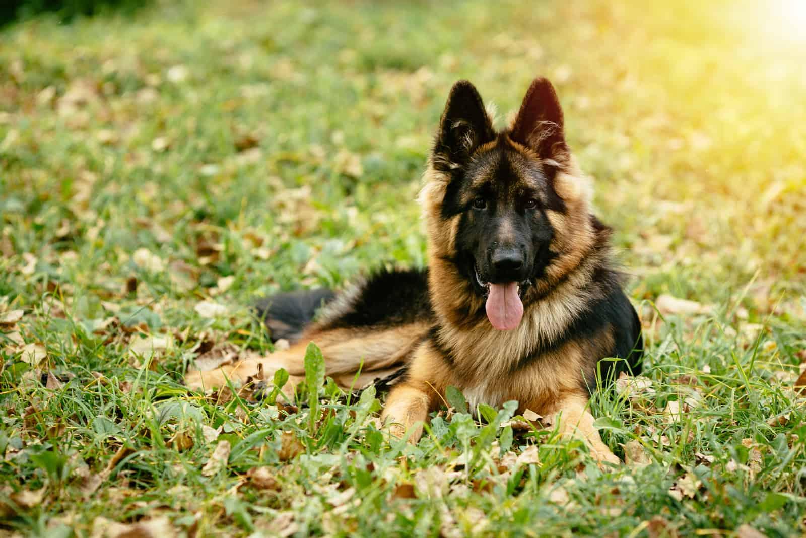 beautiful german shepherd lying on the grass